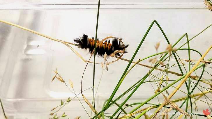 독나방 애벌레입니다