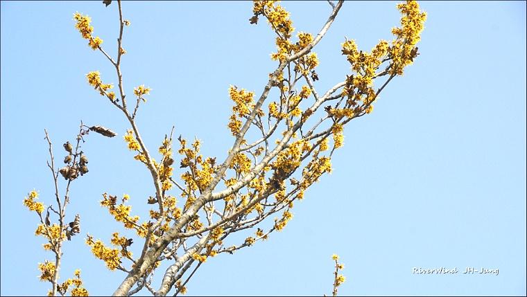 생강나무 꽃