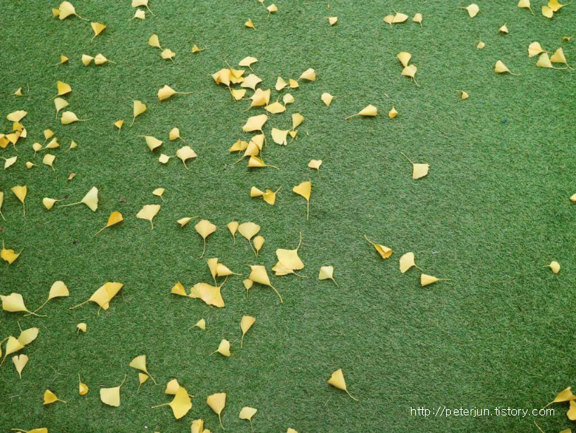 은행잎 낙엽