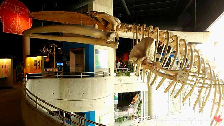 캐나다 긴수염고래 해골입니다