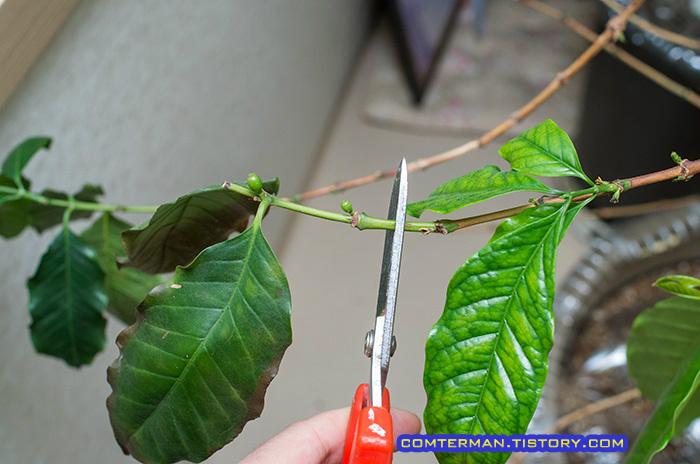 커피나무 열매 가지치기